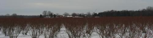 blueberry bushes in winter