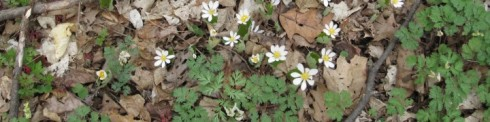 bloodroot and dutchman's breeches