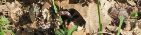 Milk snake and stink bug